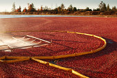 Cranberry Farm Harvesting for Thanksgiving Hz