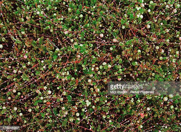 A cranberry farm in Massachusetts. The crops growing in the fields.