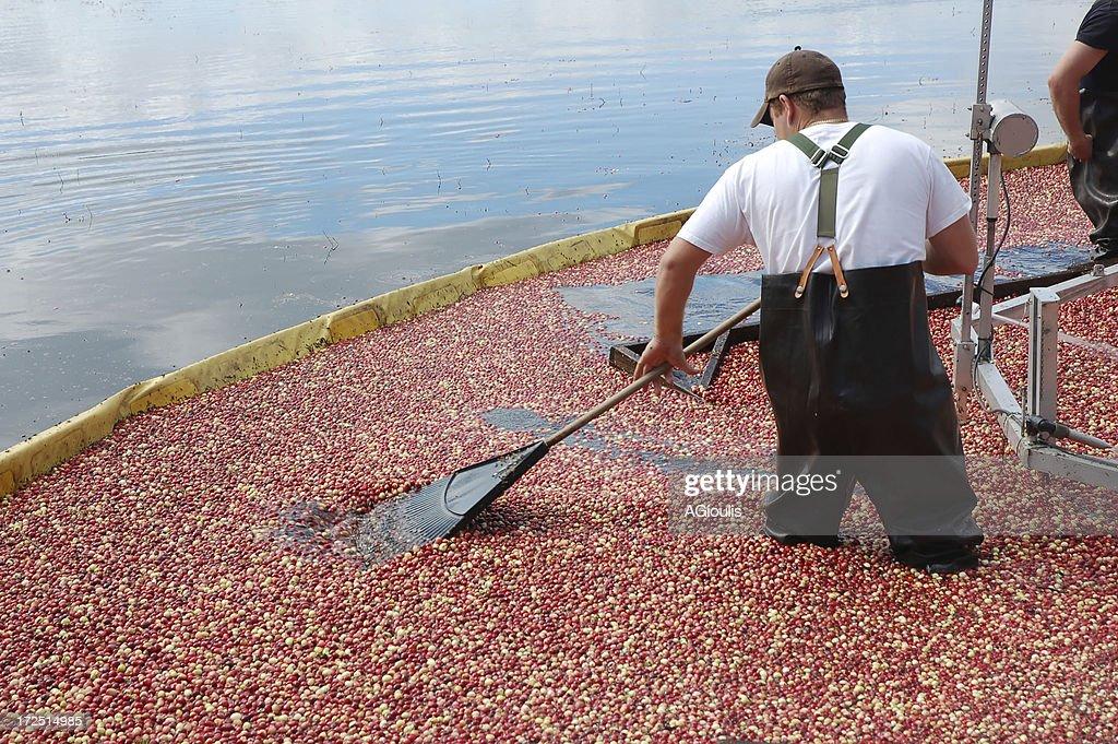 Cranberry harvest dans le New Jersey : Photo
