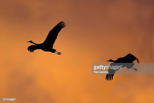 クレーン鳥飛ぶの夕暮れ