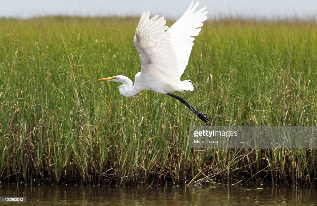 A crane flies past an oiled marsh July 19, 2010 near Pointe Aux Chenes, Louisiana. Officials are concerned about leakage reportedly spotted near BP's newly installed oil well cap which appeared to be sealed.
