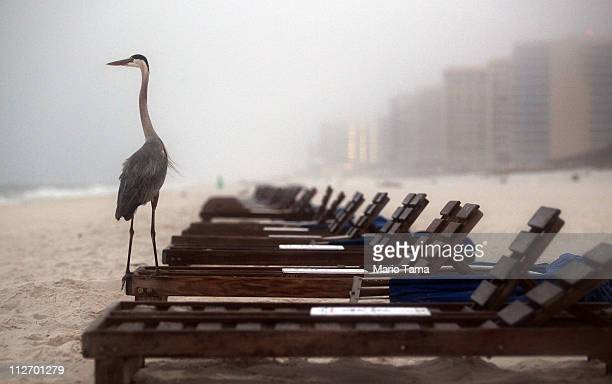 A crane stands on a beach chair at dawn on the oneyear anniversary of the BP oil spill on April 20 2011 in Orange Beach Alabama Orange Beach on the...
