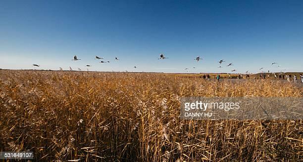 Cranes fly over grassland