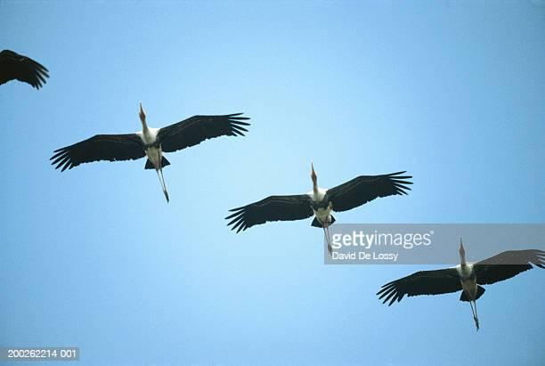 Cranes flying in sky