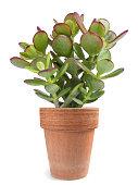 Crassula portulacea plant in vase isolated on white background