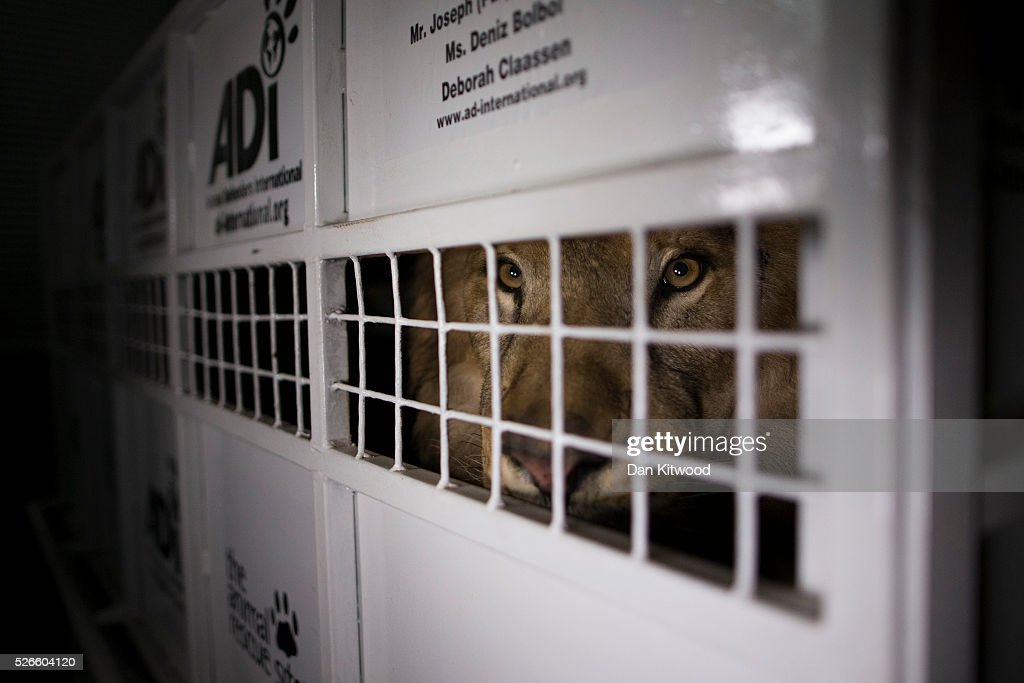 A crate carrying one of the 33 Lions rescued from circuses in Peru and Columbia is lifted onto the back of a lorry before being transported to a private reserve on April 30, 2016 in Johannesburg, South Africa. A total of 33 former circus Lions, 22 males and 11 females from Peru and Columbia have been airlifted to South Africa to live out their lives on a private reserve in the Limpopo Province. 24 of the animals were rescued in raids on circuses operating in Peru, with the rest voluntarily surrendered by a circus in Colombia after Colombias Congress passed a bill prohibiting circuses from using wild animals. The trip has been coordinated by the animal rights group 'Animal Defenders International'.