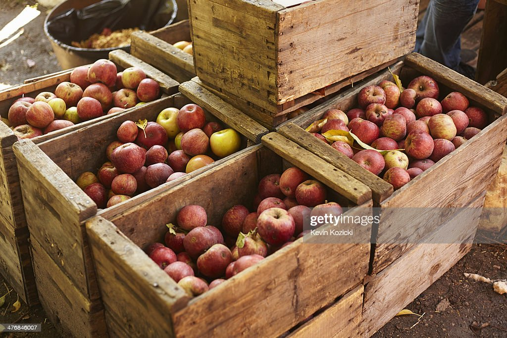 Crates of apples in orchard