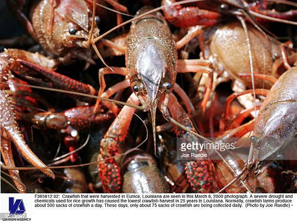 Crawfish that were harvested in Eunice Louisiana are seen in this March 8 2000 photograph A severe drought and chemicals used for rice growth has...