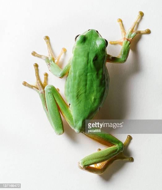 Crawling Tree frog isolated on white