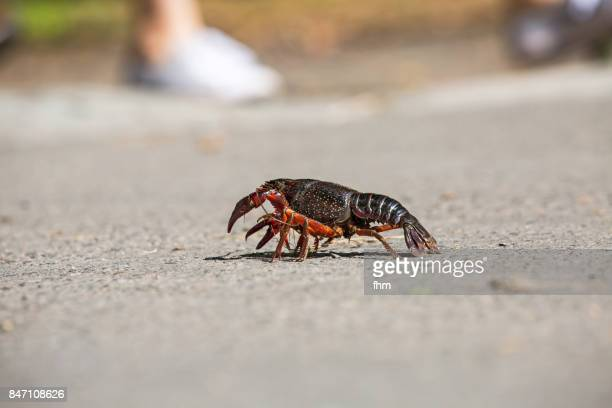 Crayfish on the road in Berlin (Berlin, Germany)