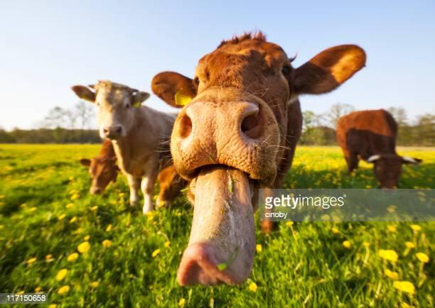 De vache folle