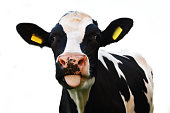 Crazy cow sticking out of his tongue isolated on white background