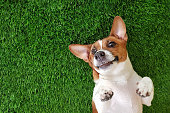 Crazy smiling dog jack russell terrier, lying on green grass. Happy new year.