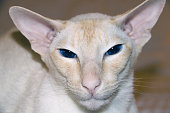 A portrait of a cream point colorpoint shorthair cat