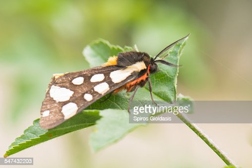 Cream-spot Tiger moth : Stockfoto