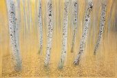 Creative Aspen trunks with blur, gold leaves