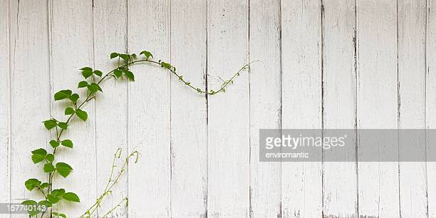 Creeper growing on an old painted wooden board wall.