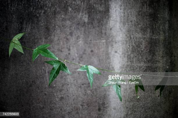 Creeper Plant Against Weathered Gray Wall