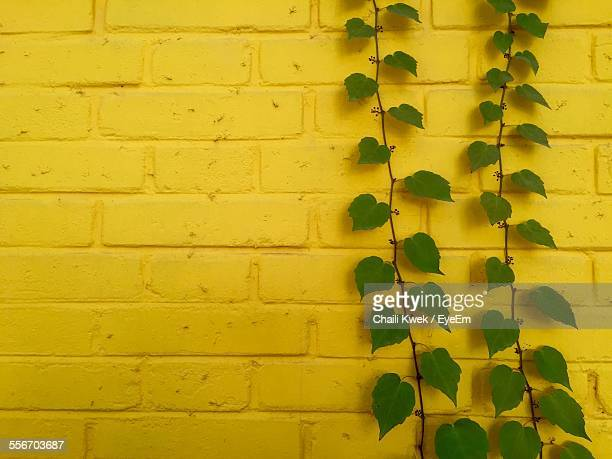 Creeper Plant Growing On Yellow Wall
