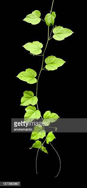 Plante grimpante, isolé sur le noir, Tracé de détourage compris.