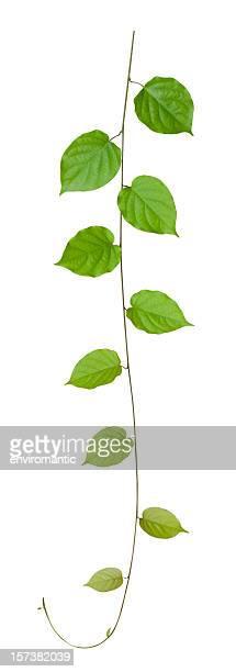 Plante grimpante, isolé sur blanc, un Tracé de détourage compris.