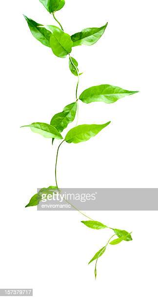 Creeper plant, isolated on white, supplied with clipping path.