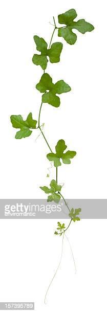Kletterpflanze Mit clipping-Pfad enthalten.