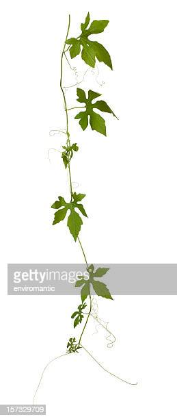 Creeping plant isolated on white, clipping path included.