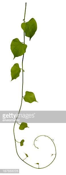 Schleichende Pflanze isoliert auf weiss, Mit clipping-Pfad enthalten.