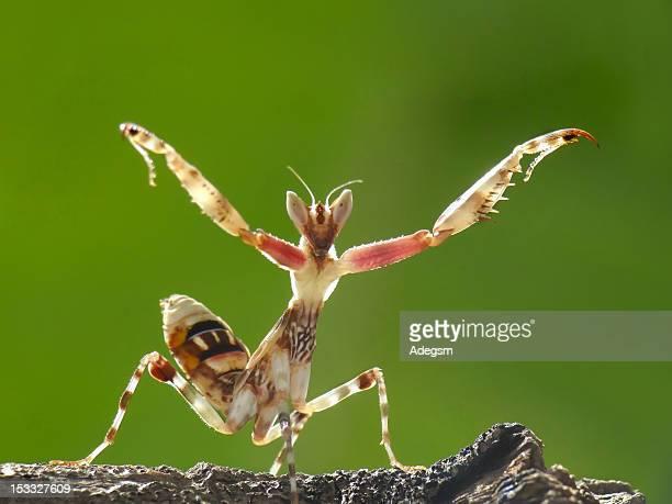 Creobroter mantis