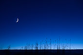 Crescent new moon in the blue twilight sky. Common reeds (Phragmites australis) in the foreground.