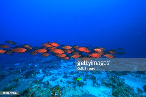 Crescent Tail Bigeye (Priacanthus Hamrur), Northern Huvadhu Atoll, Southern Maldives, Indian Ocean : Stock Photo