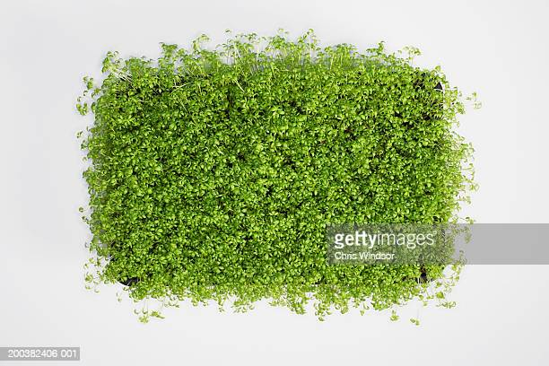Cress, close-up, overhead view