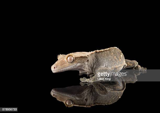 Crested gecko reflection