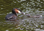 Crested Grebe & Her Young