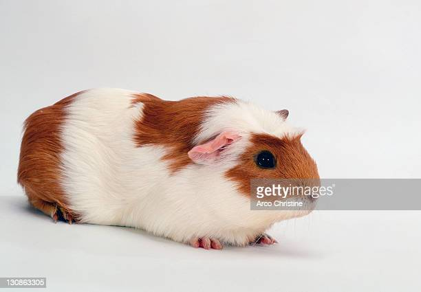 Crested Guinea Pig, red-white
