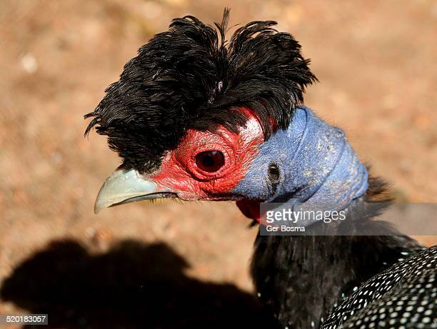 Crested Guineafowl Portrait
