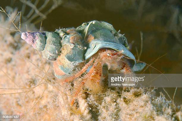 Crested Hermit Crab -Pagurus pectinatus-, Sea of Japan, Primorsky Krai, Russia