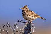 Crested lark (Galerida cristata) perched on singing post on metal wire mesh fence