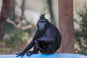Crested macaque portrait. Crested macaque sitting and looking toward. Monkey park, israel, middle east.