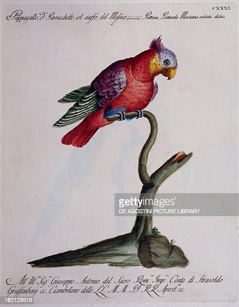 Crested Parakeet or Parrot of Mexico colour etching by Lorenzo Lorenzi and Violante Vanni from Natural History of Birds by Saverio Manetti Florence...