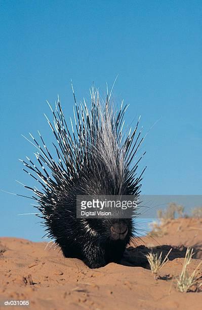 Crested porcupine (Hystrix cristata)