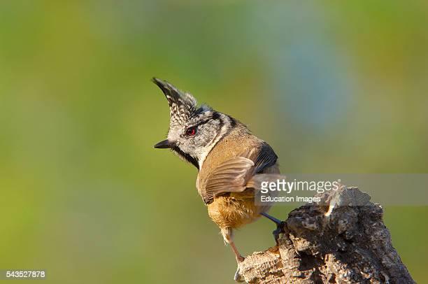 Crested Tit Parus cristatus Andujar Jaen province Andalusia Spain