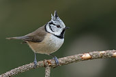 Crested tit (Lophophanes cristatus) perching on a twig.