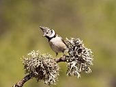 Crested Tit (Lophophanes cristatus) . Spain, Europe.