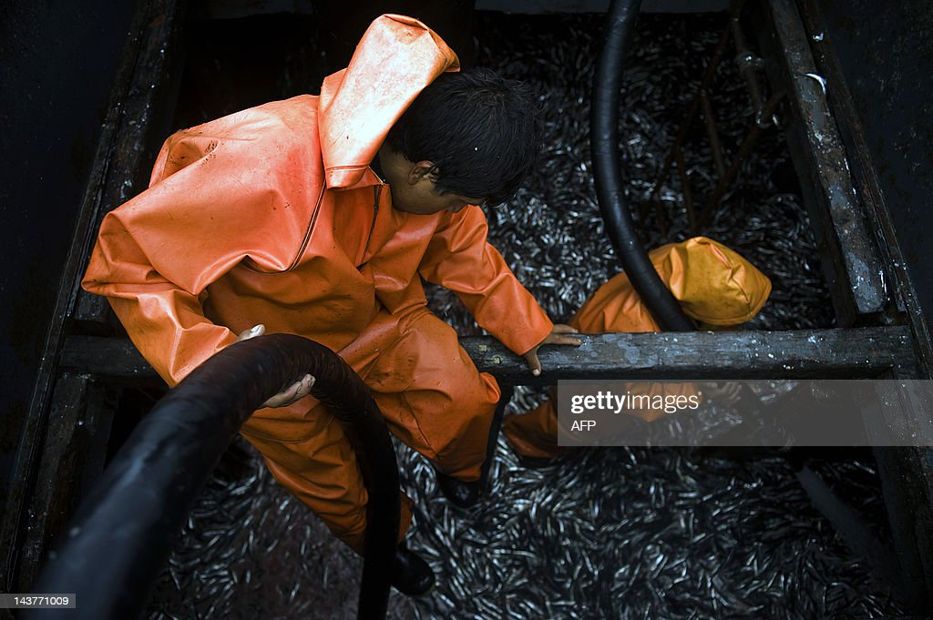 A crew man of a 'Bolichera' pumps out the sardine at a fish meal factory in Lima on December 3 2009 The Peruvian anchoveta is an important source of...