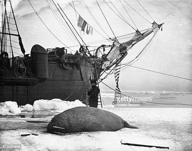 A crewman from the HMS Alert spears a walrus in the Arctic Circle He is part of Captain George Nares' arctic expedition The other ship involved in...