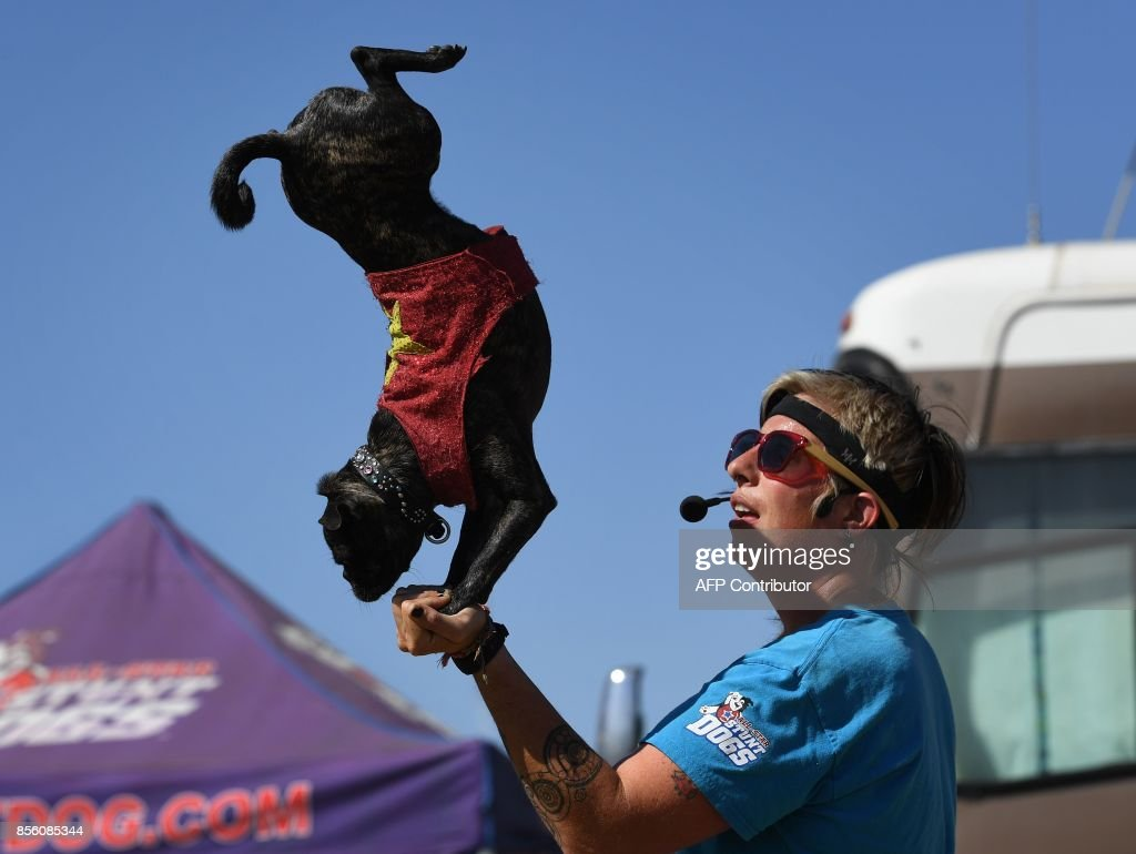 Cricket the Pug cross rescue dog performs a handstand during the All Star Stunt Dogs show at the annual Kern County Fair in Bakersfield, California on September 30, 2017. / AFP PHOTO / Mark RALSTON