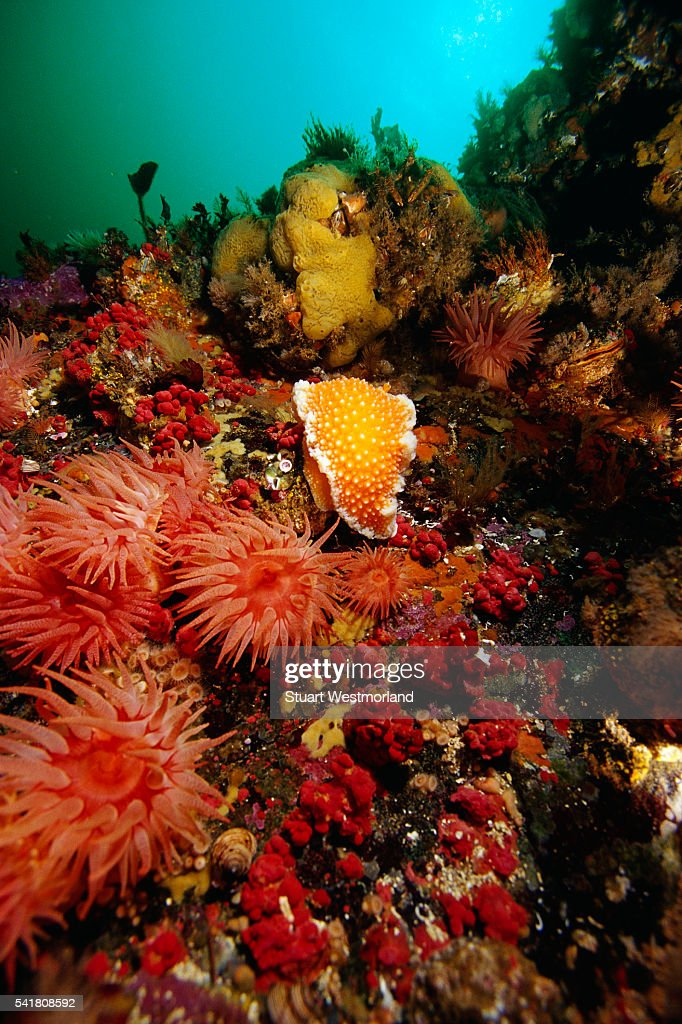 Crimson Anemones, Lemon-peel Nudibranch, and Gersemia Soft Corals