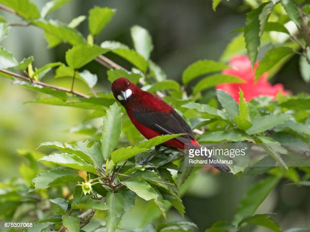 Crimson backed tanager on branch. This is the male.